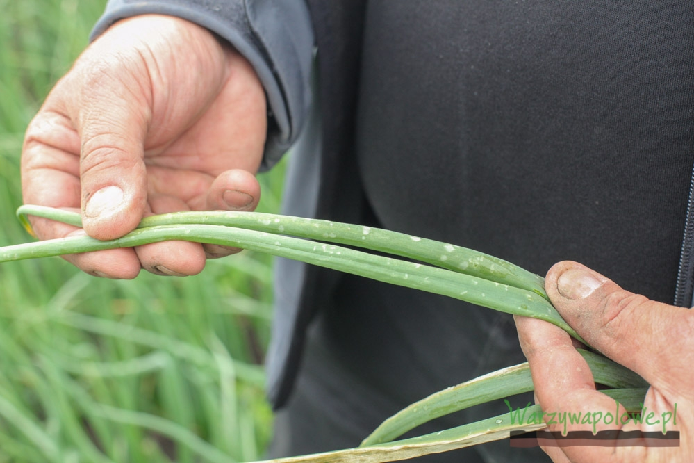 Początkowe objawy mączniaka rzekomego na liściach cebuli
