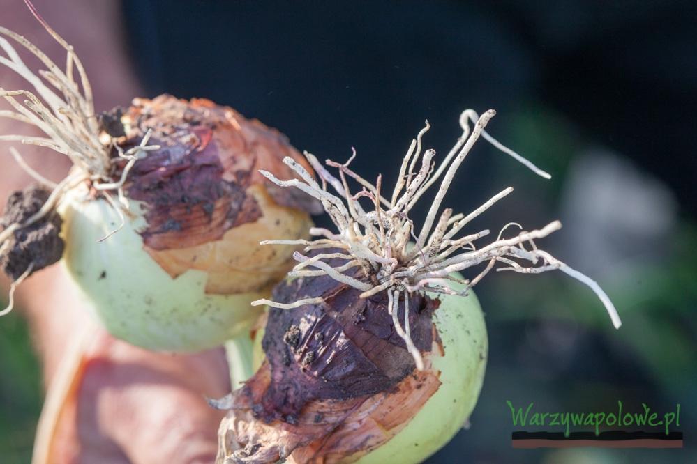 Objawy różowienia korzeni