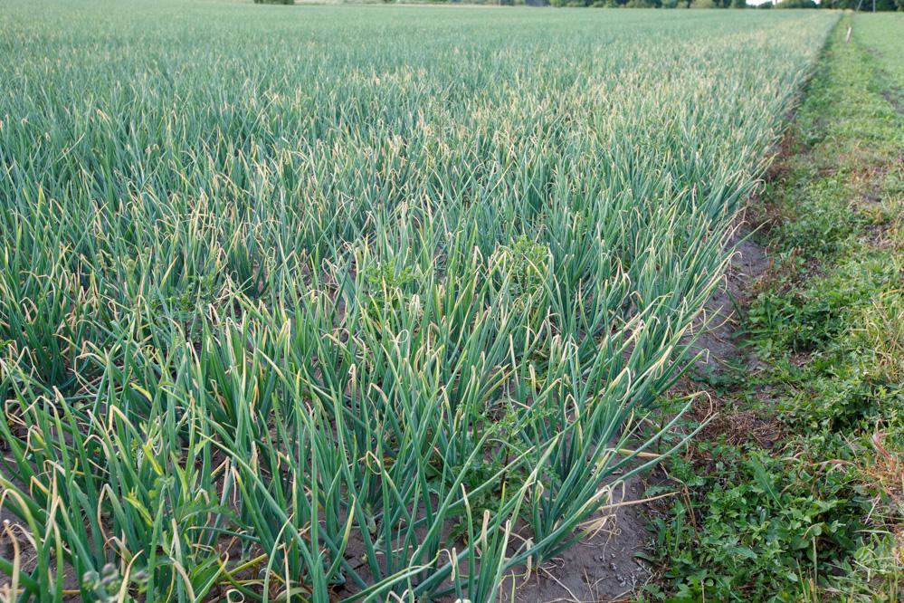 Silne porażenie szczypioru przez Botrytis i Stemphylium na skraju plantacji sąsiadującej z wysoką miedzą