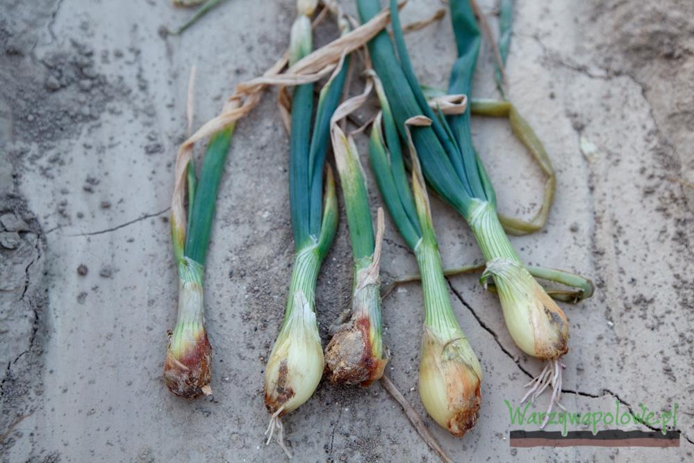 Objawy fuzaryjnej zgnilizny cebuli
