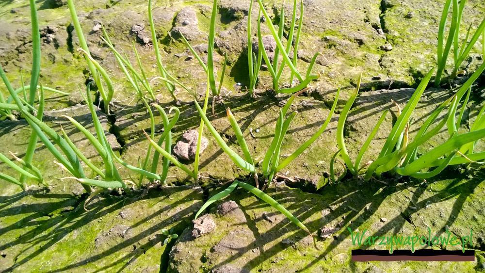 Powoli nalezy się przygotować się do pierwszych zabiegów fungicydowych